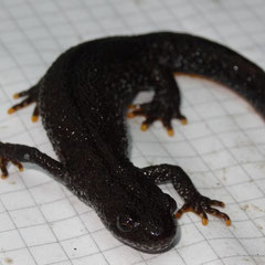 Kamm-Molch-Weibchen (Foto: Luis Ramos)