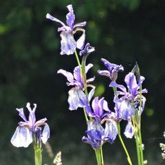 Wiesen-Iris auf der Streuwiese Gemeindeplätze (Weinreich 2014)