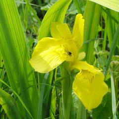 Gelbe Iris (Foto: NABU Langenargen)