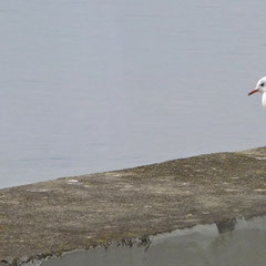 Eisvogel und juvenile Lachmöwe an der Unteren Seestraße (Schneider 2014)
