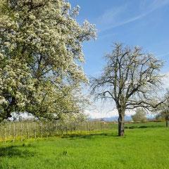 Gesunder und kranker Baum im Mooser Weg (Foto: NABU Langenargen)