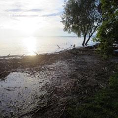 Der neue Flachwasserbereich ist  ein idealer Brutplatz für Karpfen und Stechmücken (Foto: NABU Langenargen)