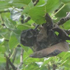 Auch die Fruchtmumien können noch infektiös wirken. (Foto: NABU Langenargen)