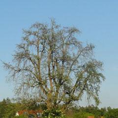 Im nächsten Jahr sind zahlreiche Äste dürr. Der Baum steht in Eriskirch-Moos 2012 (Foto: NABU Langenargen)