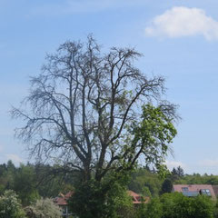 Der Mooser Baum im Mai 2013 (Foto: NABU Langenargen)