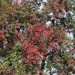 Beginn der Erkrankung durch frühe Rotfärbung des Laubes im Hochsommer. (Foto: NABU Langenargen)