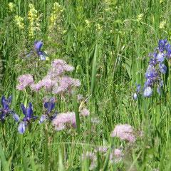 Wiesen-Iris und Akeleiblättrige Wiesenraute in den Streuwiesen der Argenaue (Weinreich 2013)