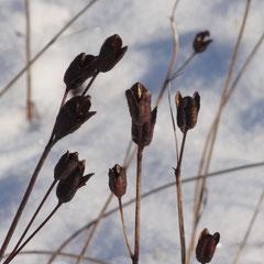 Fruchtstände der Wieseniris (Foto: NABU Langenargen)