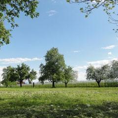 Obstwiese Gohren im Mai 2012 (Foto: Peter Weinreich)