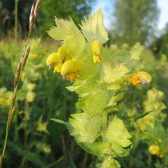 Zottiger Klappertopf in den Extensivwiesen der Argenaue - wichtig für Hummeln, unterstützt die Aushagerung der Extensivwiese (Weinreich 2013)