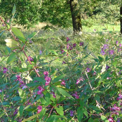 Indisches Springkraut (Foto: NABU Langenargen)