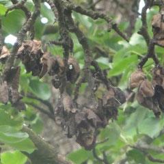 Die Früchte verfärben sich dunkel, sondern Schleim (Foto: NABU Langenargen)