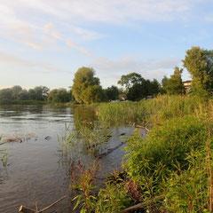 Treibendes Schwemmholz malträtiert den Schilfgürtel am Schwedi. Der Teichrohrsänger lässt sich nicht beim Singen stören. (Foto: NABU Langenargen)