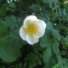 Bibernell-Rose  in den Hecken der Argenaue (Weinreich 2013)