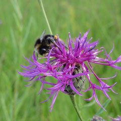 Wiesen-Flockenblume (Foto: NABU Langenargen)