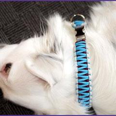 Coco mit King Kobra Halsband (3 cm) in Neon Turquoise mit Burgundy und Silver Grey