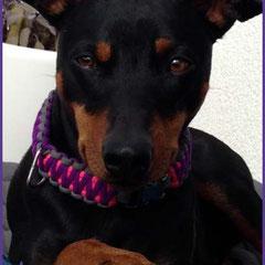 Louie mit King Kobra Halsband in Bright Purple mit Neon Pink und Charcoal Grey