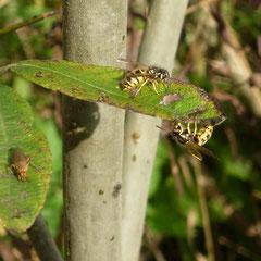 Auch die Blätter waren mit Honigtau bedeckt