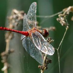 Auch Blutrote Heidelibellen leben in der Naturoase