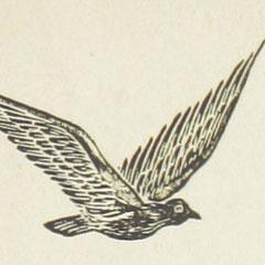 <h3>Pigeon gravé</h3><p>Xylogravure 18°</p>
