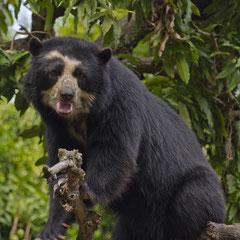 Der Brillenbär - die einzige einheimische Bärenart Südamerikas droht auszusterben