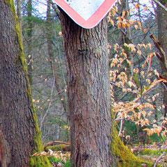 Schildefressender Baum im Spessart