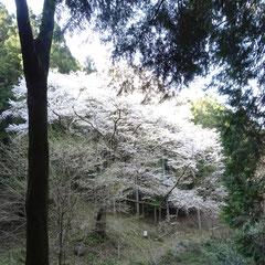 源太桜その1