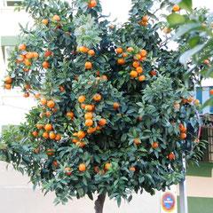 Orangenbaum - Weihnachten 2012 in Fuengirola
