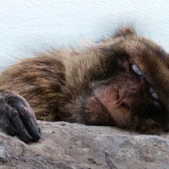 Entspannung und Erholung; Stress und Alltag vergessen (Affe von Gibraltar)