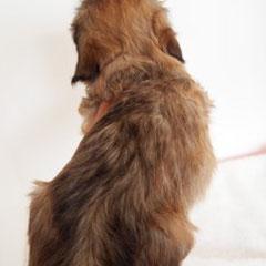 ro2 ハバニーズ ブリリアントハバニーズ 子犬