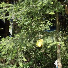 Unser Bananenbaum hinter'm Haus.