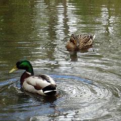 Entenpaar im Hirschgarten