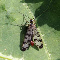 Skorpionsfliege Männchen