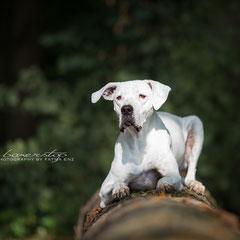 """Dogo Argentino Hündin sagt """"Don´t crop, let flop"""""""
