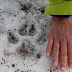 2019:  Wolf track in Val Lumnezia (Switzerland)