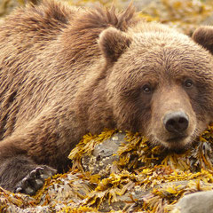 2015: Grizzly Bear in Lake Clark National Park, Alaska (USA)