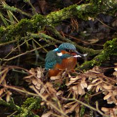 2021:  Kingfisher at lunchtime in Kleindöttingen (Switzerland)