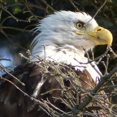 2015: Bald eagle in Homer, Alaska (USA)