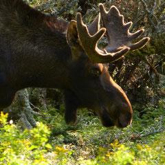 2017:  Moose in Cape Breton Island, Nova Scotia (CAN)