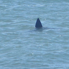2019: Great White Shark, Cape Cod, Massachusetts (USA)