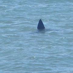 2019:  Great white shark, Cape Cod, Massachusetts (USA)