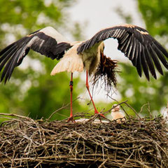 Vater Storch bringt neues Material für das Nest, 10. Mai 2019