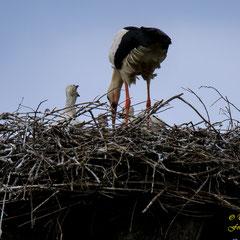 Mutter Storch mit drei Jungen, 15. Mai 2019