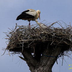 Vater Storch, 15. Mai 2019