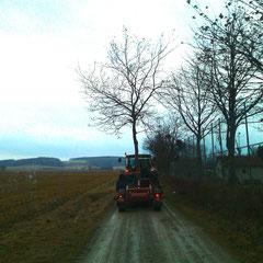 DIE GRÜN-DLICHEN, wir verpflanzen auch alte Bäume