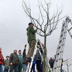 Erziehungsschnitt an einem Jungbaum unter Anleitung von Klaus Nadler