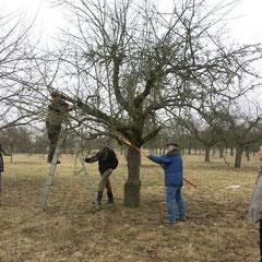 Für das Verjüngen eines Altbaums sind Leiter und Teleskopsäge unverzichtbar