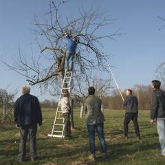 Beim Schnitt alter Bäume geht es hoch hinaus. Hier wird die Goldrenette von Peasgood geschnitten. Es gilt, diese seltene Sorte lange zu erhalten