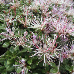 変わり種のミヤマキリシマ