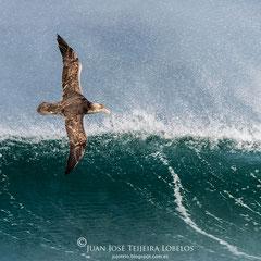 Petrel al viento.
